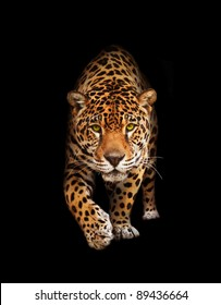 Spotted wild cat - Panther, looking and walking to the camera. Black background, shadows. The same over white - id 75989233