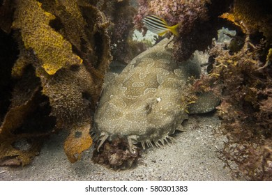 Spotted wobbegong shark in kelp near Manly Beach in Sydney, Australia.