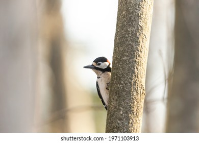 a spotted woodpecker sits on a tree