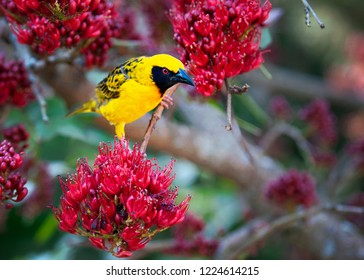 Spotted-backed Weaver in a Weeping Boer-bean tree