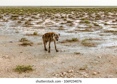 spottet hyena, Crocuta crocuta, Etosha National Park, Namibia