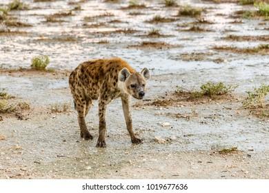 spottet hyena, Crocuta crocuta, Etosha Nationalpark, Etosha National Park, Namibia