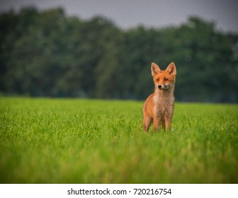 Spotting a wild fox in Twente, Overijssel - The Netherlands