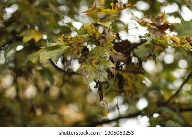 Spotty, diseased autumn leaves