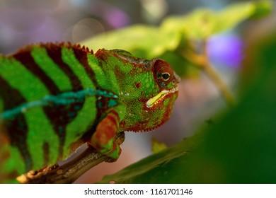 spotty green black lizard a chameleon with an open eye closeup