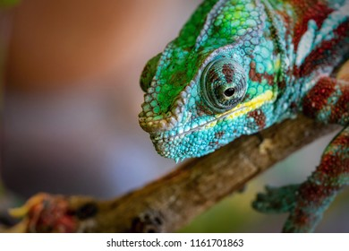 spotty and motley lizard a chameleon with an open eye closeup in the macrophoto