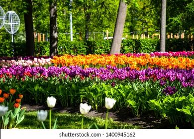 Spqing blooming park tulips blossom landscape. Tulip festival in Saint Petersburg, Russia. Spring blooming tulip festival scene. Spring blooming tulip flowers