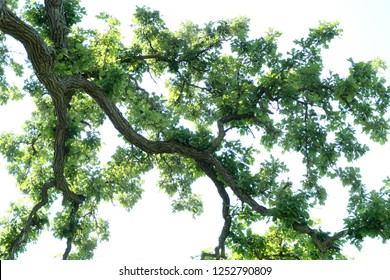A sprawling White Oak (Quercus Alba) tree branch hanging high above with a bright white sky background.