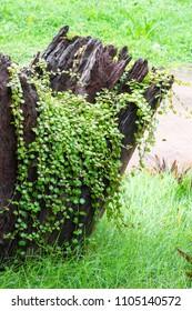 Sprawling Wirevine (Muehlenbeckia complexa) Climber Texture / Background