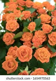 Spray blooming orange rose cut flowers