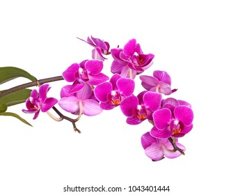 Spray with dark purple flowers of a hybrid Phalaenopsis orchid isolated against a white background