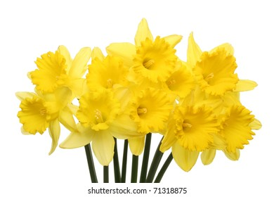 Spray of golden daffodils isolated against white