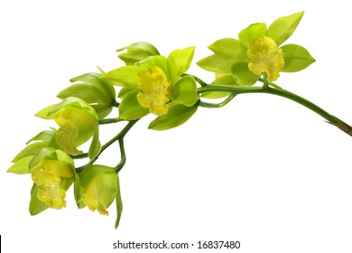 A spray of Green and Yellow Cymbiduim Orchid blooms, isolated on white with clipping path