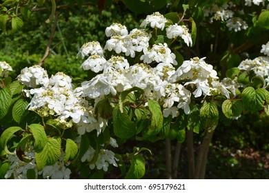 A spray of limp white flowers on a green shrub