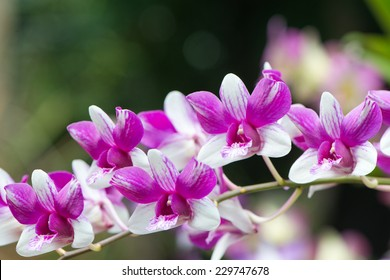 Spray of purple and white cymbidium orchids growing in the botanical gardens in Victoria, Mahe, Seychelles