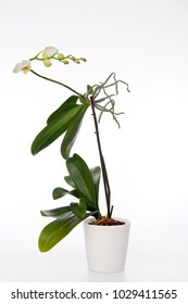 Spray of white and green flowers on a Phalaenopsis orchid plant and aerial roots growing in a white clay pot isolated on a white background.