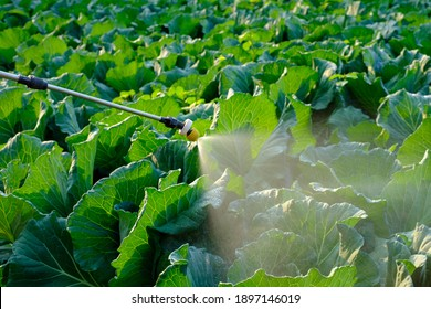 Sprayer spray Insecticide and chemistry on cabbage vegetable plant