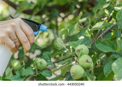 Spraying apple trees from pests.