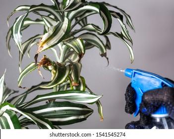 Spraying a diseased plant. Houseplant diseases