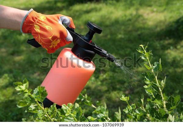 Spraying gooseberry bush against pests in garden