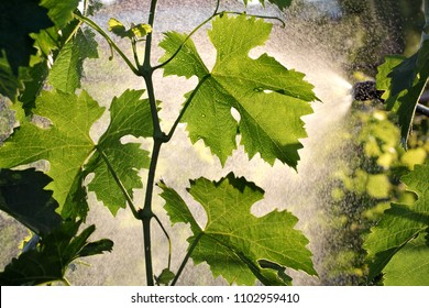 Spraying grape plants in vineyard in spring or early summer, plant protection or nutrition work in late afternoon