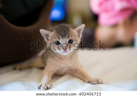 Abyssinian Cat Baby