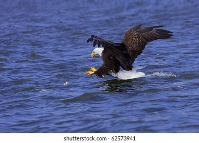 a spread winged bald eagle attacks a fish swimming in the open water