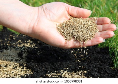 Spreading Grass Seed By Hand For The Perfect Lawn.