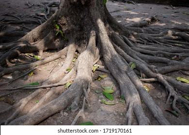 spreading large ancient time tree root