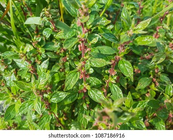 Spreading pellitory or pellitory of the wall, Parietaria judaica, growing on walls of Galicia