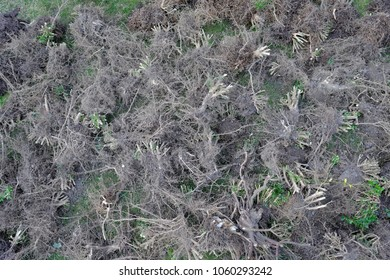 Spreading shredded shrubs roots after done gardening
