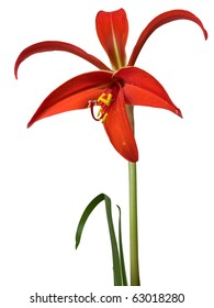 Sprekelia or Amaryllis formosissima or Aztec lily. Sometimes it is called Fleur de Lis since it looks like that heraldry symbol. Clipping paths are included.