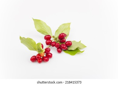 sprig with berries of dogwood on white background