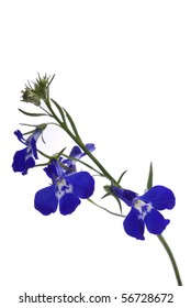 A sprig of blue lobelia on a white background.