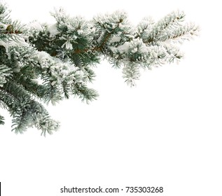 Sprig of christmas tree (spruce Picea pungens) covered hoarfrost and in snow on a white background with space for text.