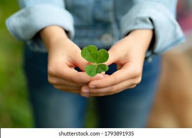 A sprig of clover with four leaves in the hands of a girl. Green sprout in female hands. Photo with selective focus.
