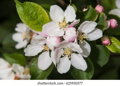 Sprig of Crab Apple Blossom, Malus sylvestris
