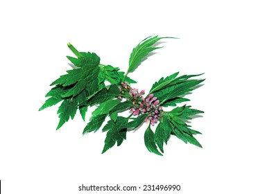 Sprig with flowers motherwort isolated