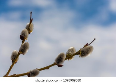 A sprig of fluffy willow against a background of white clouds with a blue sky, shot close-up.