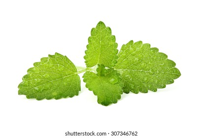A sprig of fresh Melissa with dew drops isolated on white background.
