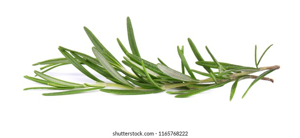 Sprig of fresh rosemary isolated on white background. Rosemary branch