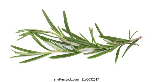 Sprig of fresh rosemary isolated on white background. Rosemary branch