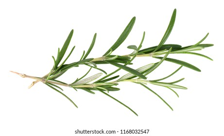 Sprig of fresh rosemary isolated on white background. Rosemary branch. Top view