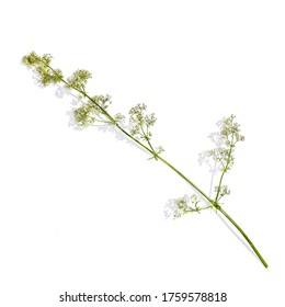 A sprig of galium album with flowers, isolated on a white background, with shadow. Torn stem of a blooming white bedstraw, top view