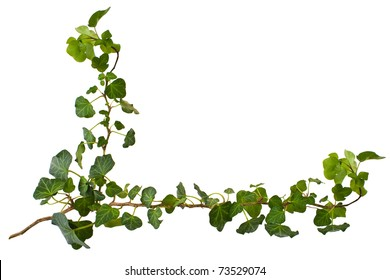 sprig of ivy with green leaves on a white background. design elements - corner of frame