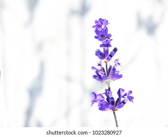 A sprig of lavender, also called lavandula, on  a white background with shadows