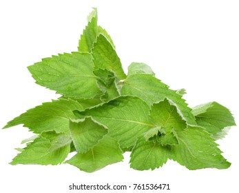 A sprig of leaf mint isolated on a white background