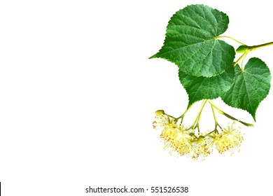 Sprig of linden blossoms isolated on white background.