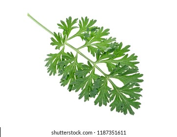 Sprig of medicinal wormwood on a white background. Sagebrush sprig. Artemisia, mugwort.