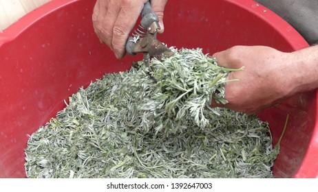 Sprig of medicinal wormwood on a white background. Sagebrush sprig. Artemisia, mugwort.